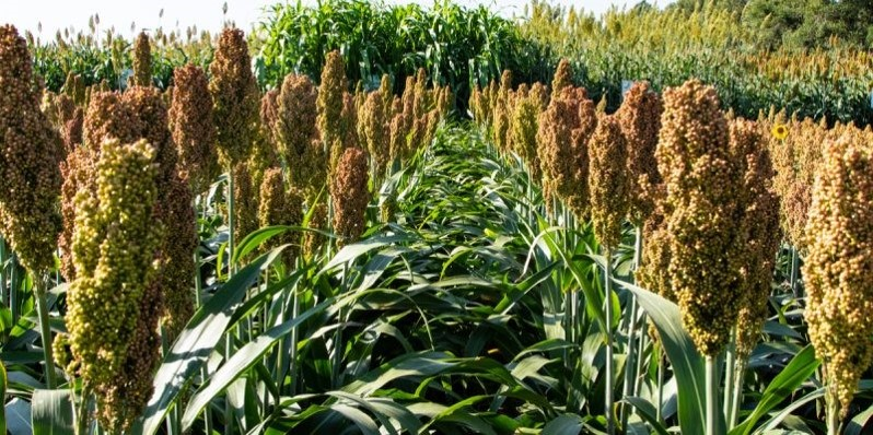 AFRICA: millet and sorghum, the cereals most resistant to climate change