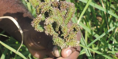 New millet variety gains popularity