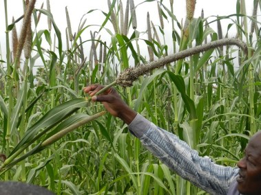 Fighting malnutrition through the lens of pearl millet