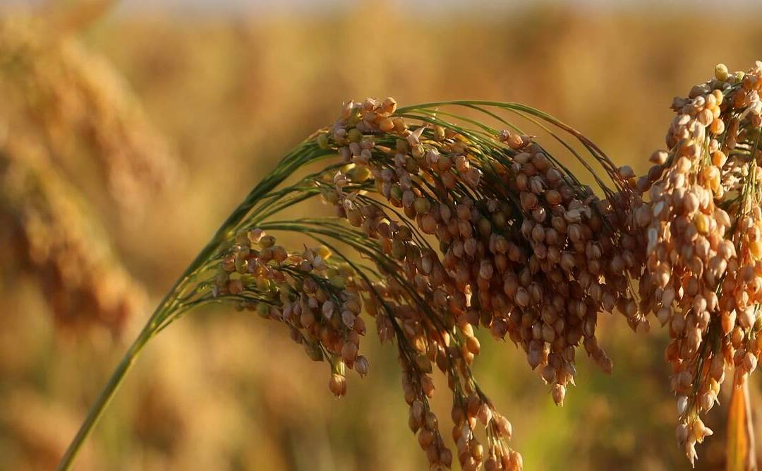 Millets-based diet can help manage blood glucose levels: study