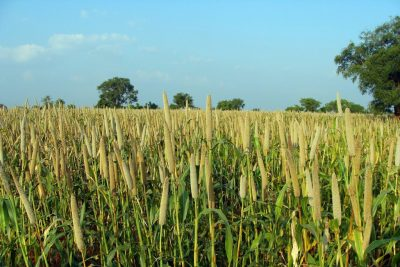 Millets in diet can lower risk of diabetes, says study