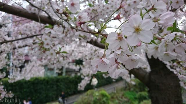 今年の桜も終わりかな