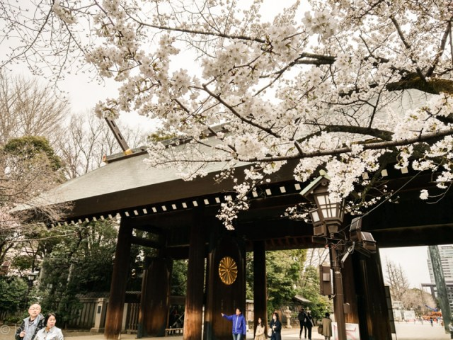 Cherry blossoms at Yasukuni Shrine