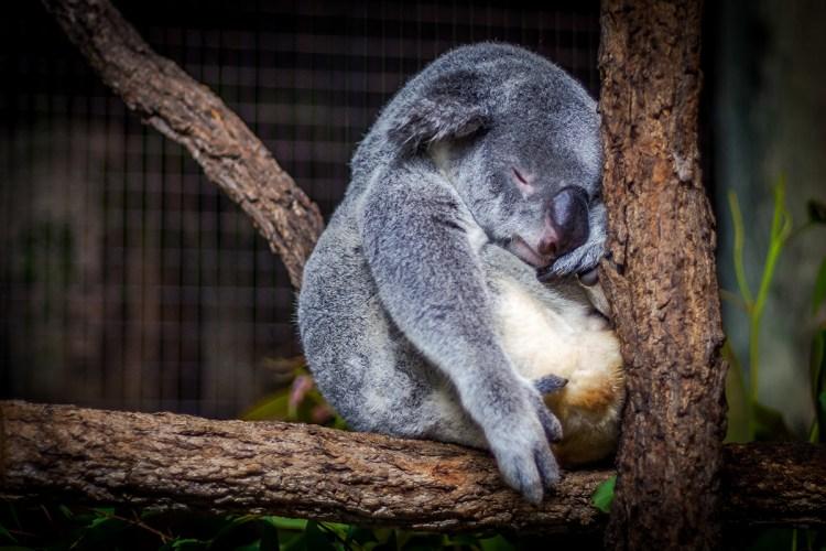 Koala durmiendo