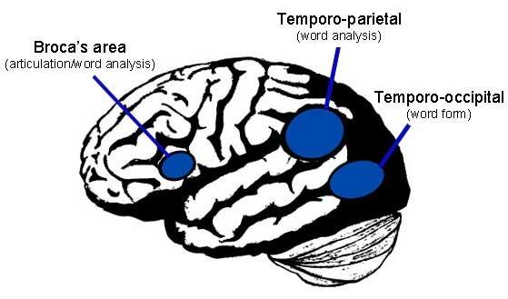 Principales ´áreas del cerebro que se activan en la lectura.