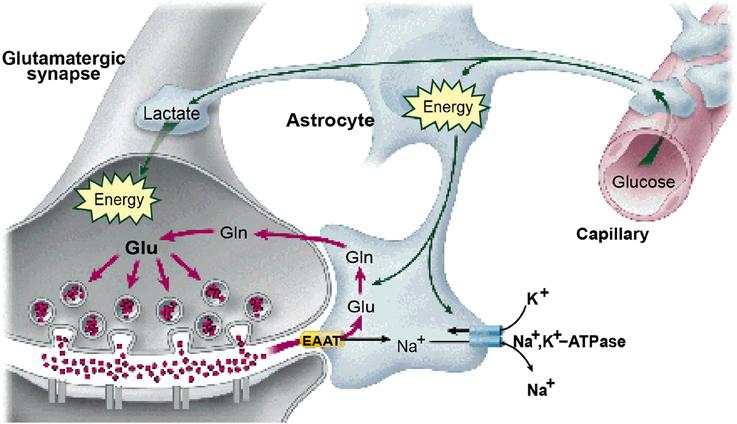 Las neuronas hacen uso del lactato de las células gliales como primer fuente de energía