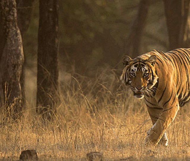 Guide To Tiger Spotting In Indian Game Parks And Where To Stay At