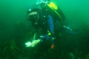 Plongeur du SMEL en observation de la mortalité des ormeaux (@SMEL)