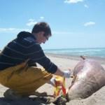Échouages de mammifères marins dans la Manche.