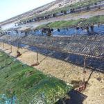 Rôle du régime alimentaire sur la survie des naissains d'huîtres