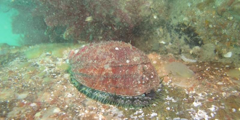 Ormeau dans son milieu naturel (SMEL)