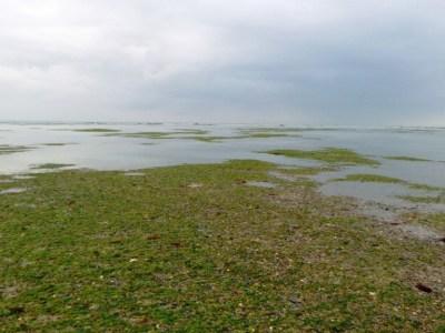 Les herbiers de zostères au large de Blainville sur Mer (@SMEL)