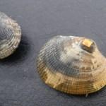 Mieux connaître la pêche à pied à la palourde dans l'ouest du Cotentin (projet de recherche 3POC).