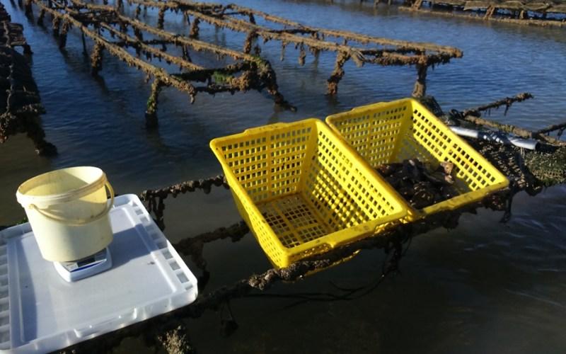 Comptage et pesée des huîtres à Lingreville (novembre 2016) (@SMEL)