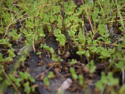 Jeunes plants de salicornes présentes dans les claires ostréicoles (@SMEL)