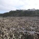 Des huîtres sauvages (un peu) moins présentes sur les côtes normandes.