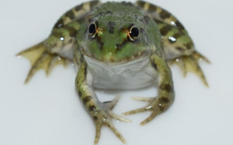 Grenouillette de Normandy Frog (@SMEL)