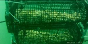 Optimisation de la survie des huîtres.