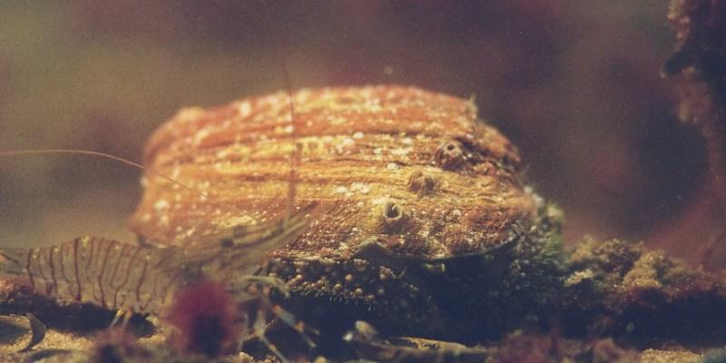 L'ormeau (Haliotis tuberculata) en bonne compagnie (@SMEL)