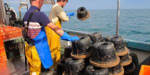 BESTCLIM: bilan des travaux sur la ressource bulot et l'avenir de la pêcherie