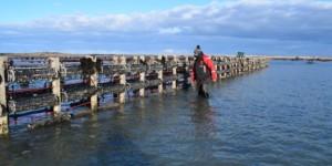 Des poches venues d'Australie pour l'élevage de l'huître sur la côte ouest du Cotentin.
