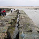 Un point sur la mortalité de naissain d'huîtres