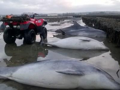 4 grands dauphins retrouvés à Saint Vaast La Hougue le 17 mars 2017 (@SMEL)
