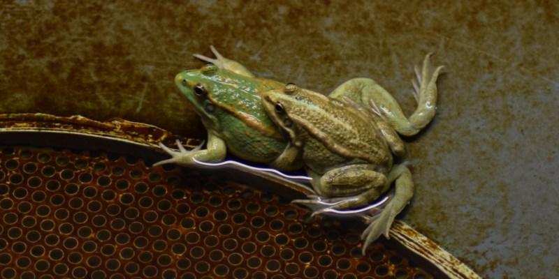 Accouplement de grenouilles (@SMEL)