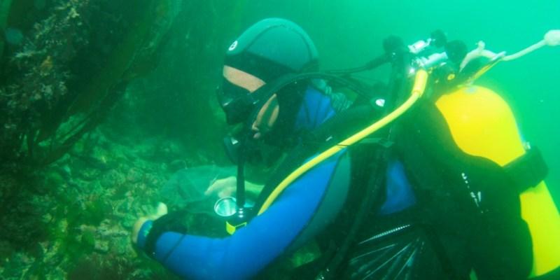 Observation des ormeaux en plongée le long d'un transect (@SMEL)