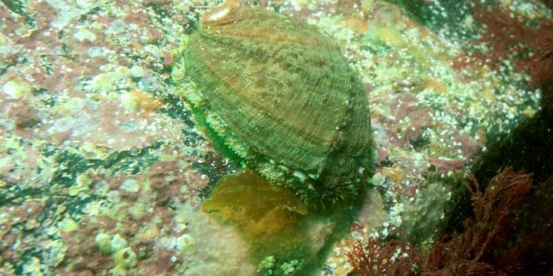 Ormeau dans son milieu naturel (@SMEL)