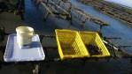 Réseau de suivi de la mortalité et de la croissance des huîtres normandes.