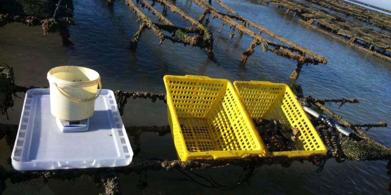 Comptage des huîtres sur Lingreville (@SMEL)