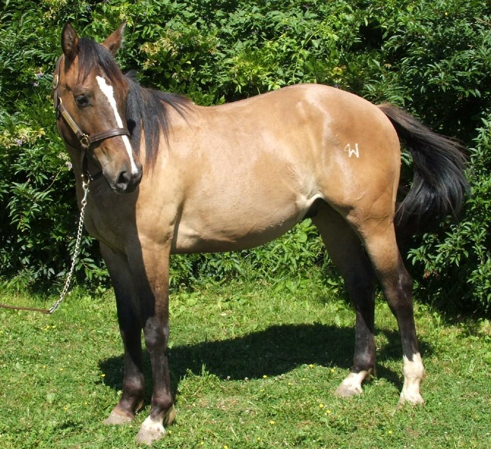 Boston Mac Quarter Horse