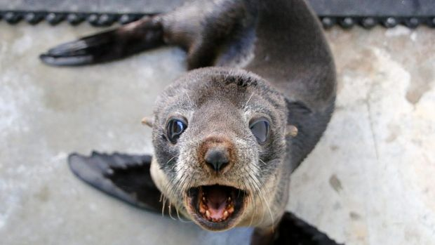 A young fur seal has been released back into the wild, less than two weeks after being rescued from Sydney's wild storms.