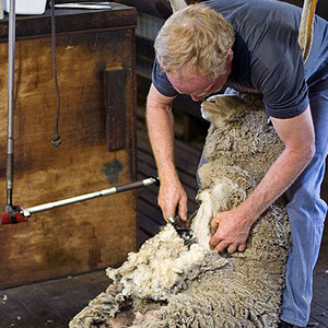 Golden Shears Sheep Shearing Festival