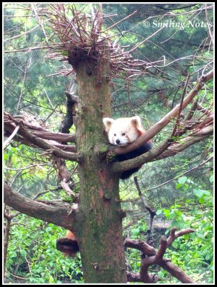 Red Panda inside the Zoo