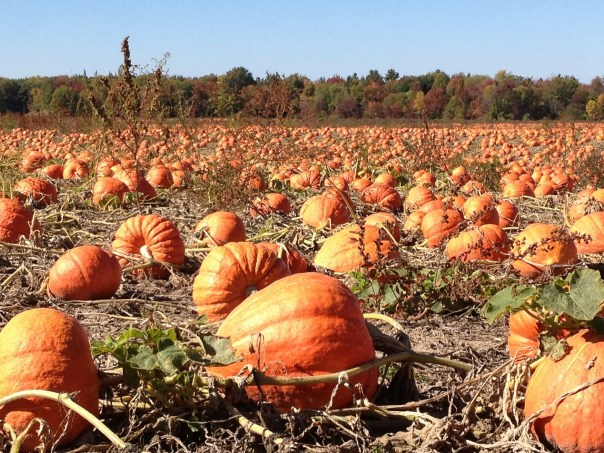 pumpkin patch - fall