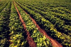 Soybean farming field rows