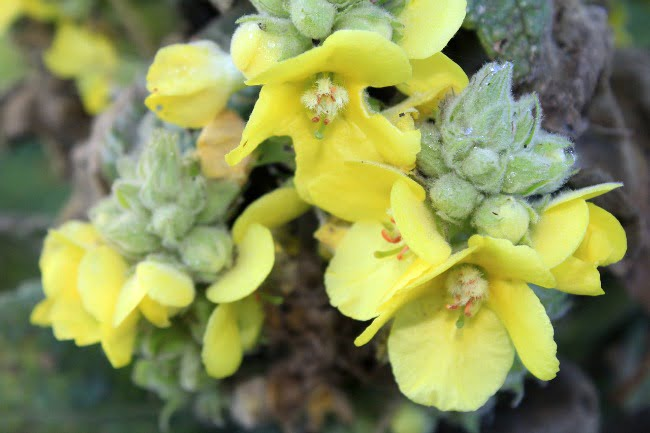 All About Mullein, The Herb of the Month for March 2016. Learn how to use mullein leaf and flower. It's so gentle and effective!