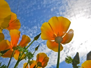 those california poppies in bright sunlight : portland, oregon (2013)