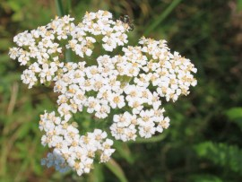Yarrow-Herb-Flowers_Achillea-millefolium__IMG_4824_cr