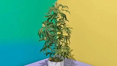 planta falsa Liminar para cultivo de maconha com fins terapêuticos é confirmada no Paraná