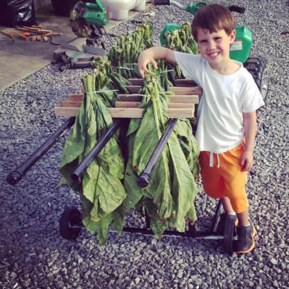 Little tobacco farmer 1