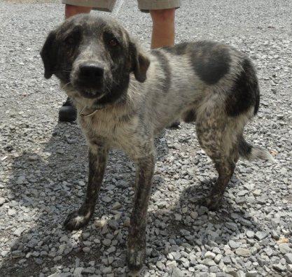 Shepler dog
