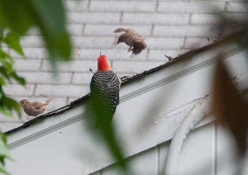 A female house sparrow jumps in surprise at the appearance of the Red-bellied Woodpecker.