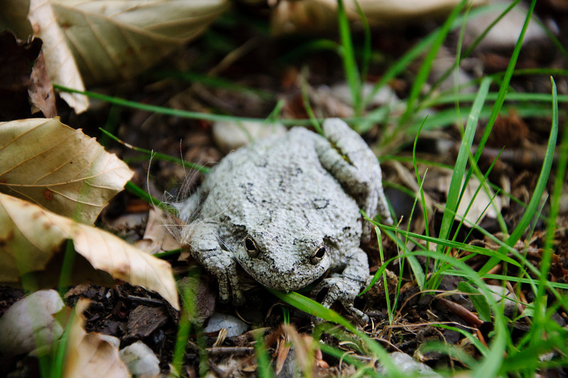 A Gray Tree Frog on the ground among some grass and dried leaves.