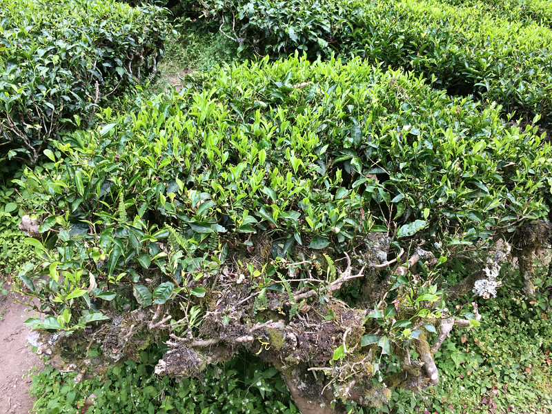 Tea Bushes in Cameron Highlands