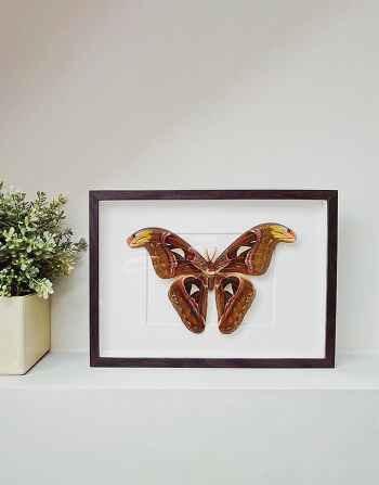 Atlas attacus in kader