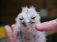 Feisty owl chick