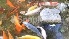 Aquatic, Carp, Dish, Fish, Food, Goldfish, Koi, Meal, Nature, Outdoors, Rock, Sea Life, Stew, Sun Light, Water